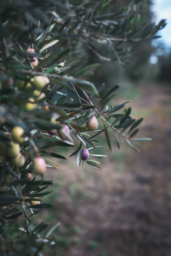 L'oliveraie d'Antonin